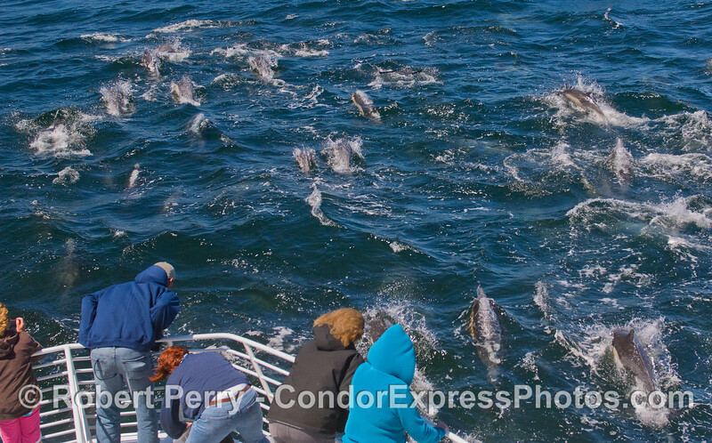 Lots of Common Dolphins (Delphinus capensis) and whalers on the Condor Express.