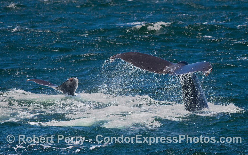 """Mother and calf Humpback Whales (Megaptera novaeangliae) tail fluke at the same time.  Veterans should note that the adult female is our old friend """"Rope."""""""