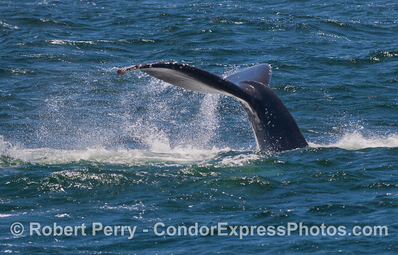 Windy tail fluke of a Humpback Whale (Megaptera novaeangliae).
