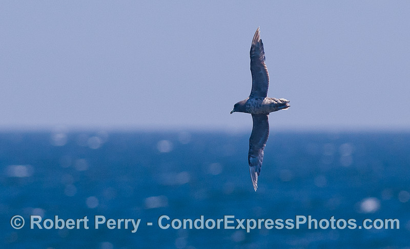 Pink footed Shearwater (Puffinus creatopus) in flight.