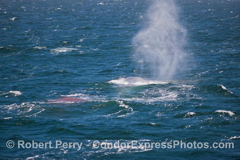Blue Whale (Balaenoptera musculus) spout and red feces.