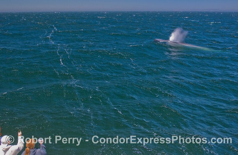 Blue Whale (Balaenoptera musculus) and whalers on board the Condor Express.