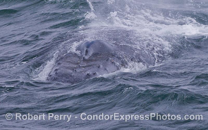 A Humpback Whale (Megaptera novaeangliae) heads straight for the Condor Express.