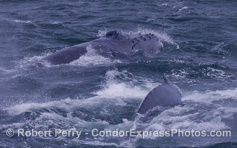 Humpback Whales (Megaptera novaeangliae).