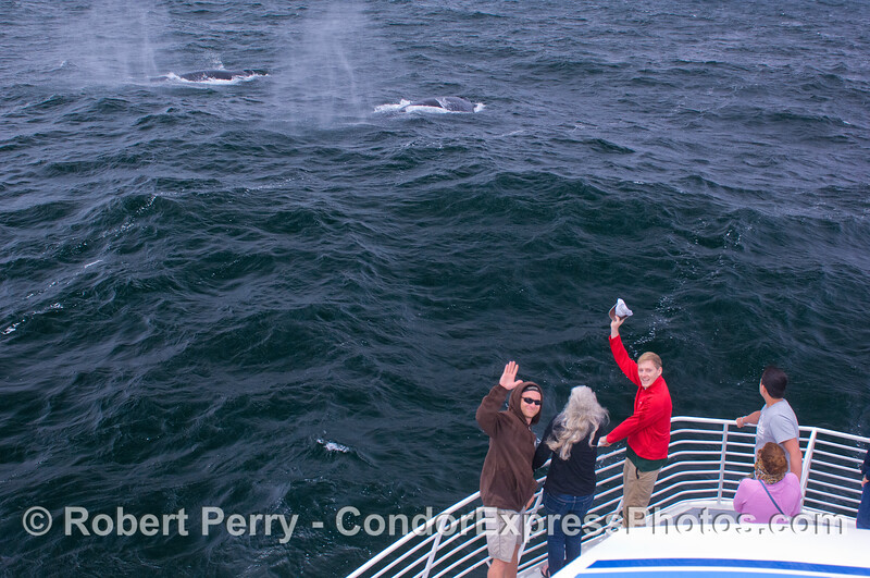 Whalers on board the Condor Express enjoy a great view of two Humpback Whales (Megaptera novaeangliae) as the cavort in the breeze.