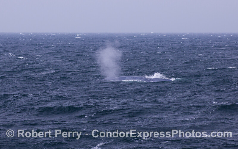 Blue Whale (Balaenoptera musculus).