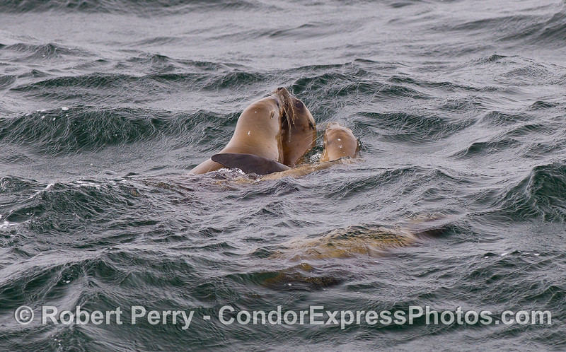 California Sea Lions (Zalophus californianus).