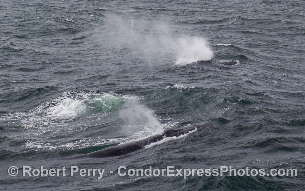 Two Humpback Whales (Megaptera novaeangliae) push into the swells.