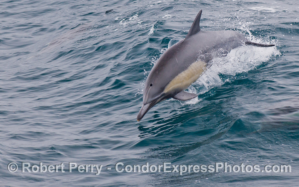 A leaping Common Dolphin (Delphinus capensis).