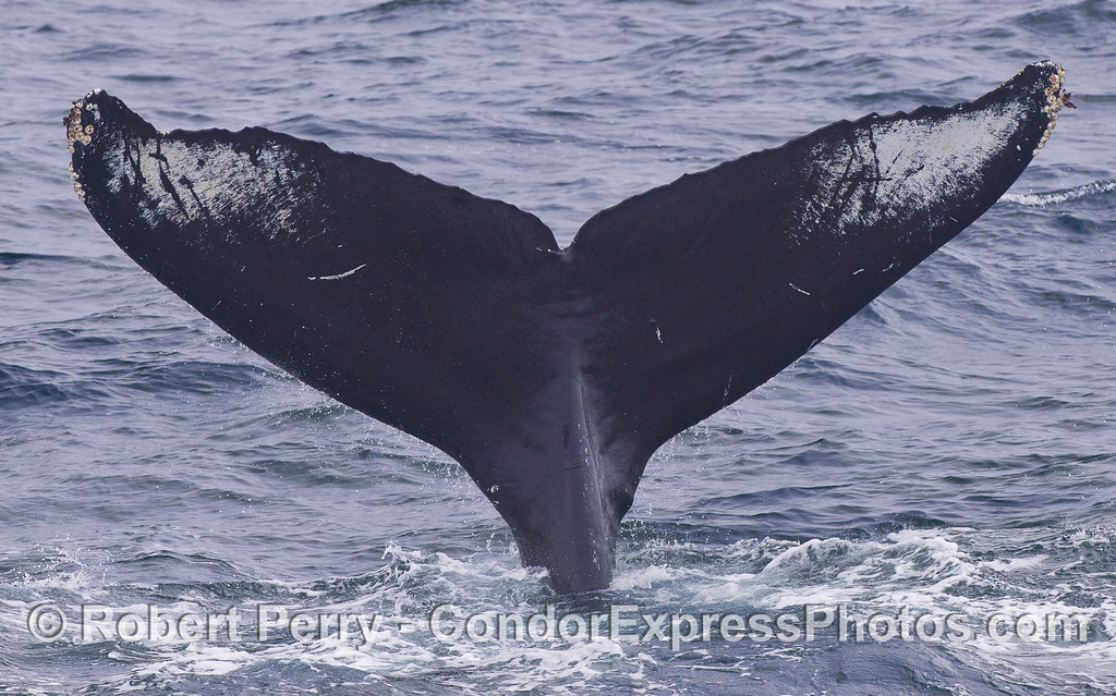 Another deep diving Humpback Whale (Megaptera novaeangliae) shows its individual signature ventral fluke pattern.