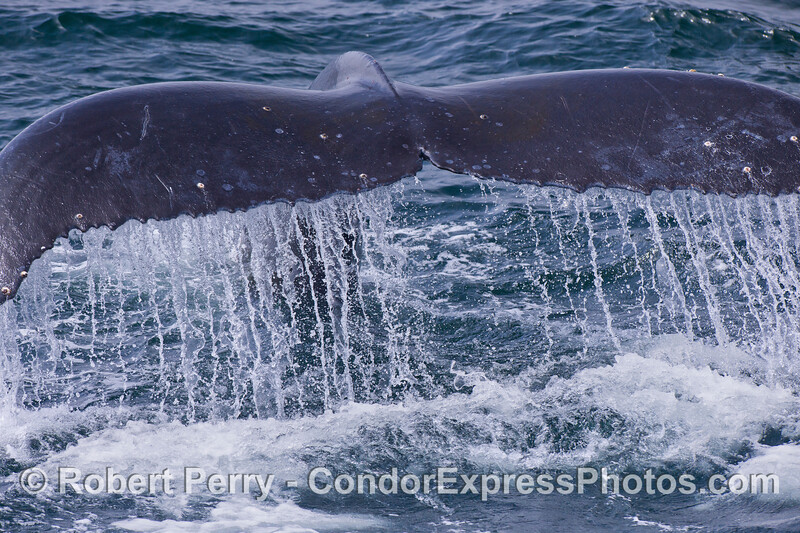 A very close look at a Humpback Whale (Megaptera novaeangliae) tail fluke waterfall.