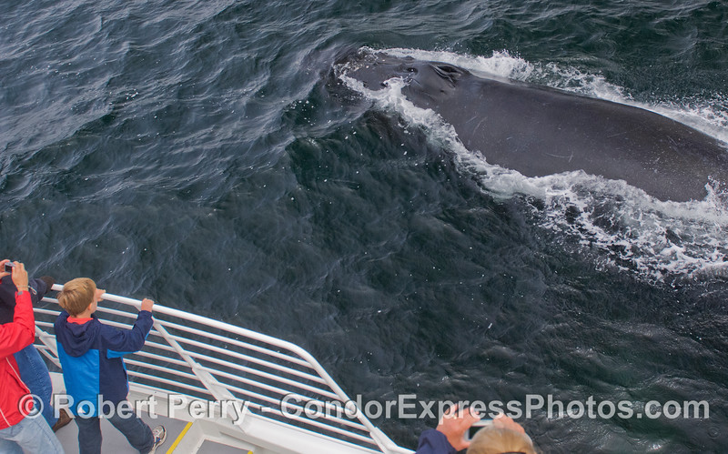 A curious Humpback Whale (Megaptera novaeangliae) pays a visit to the Condor Express.