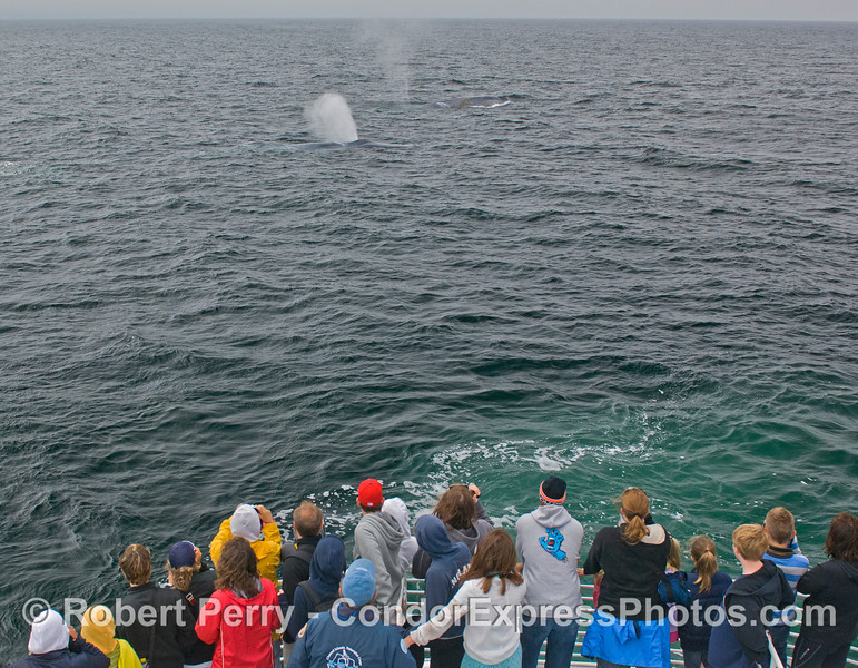 Two giant Blue Whales (Balaenoptera musculus) pass close by the Condor Express.
