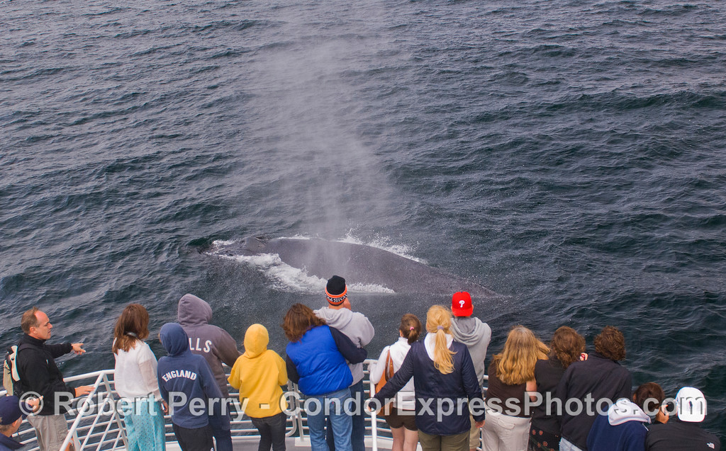 The whalers on the Condor Express get blasted by the spray from this friendly Humpback Whale (Megaptera novaeangliae).