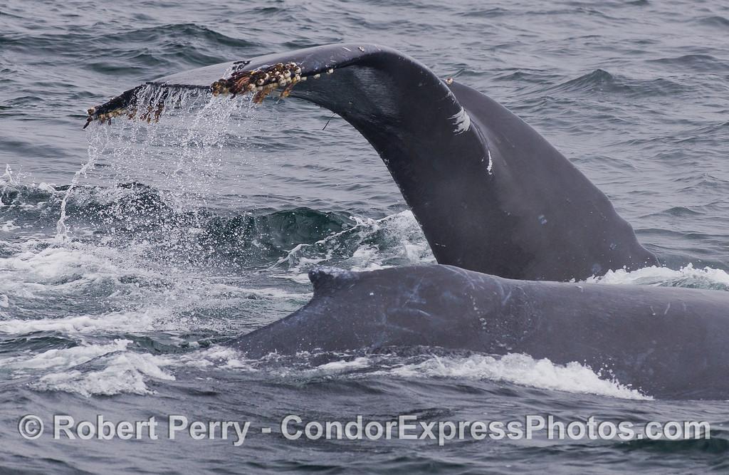 Two Humpback Whales (Megaptera novaeangliae).
