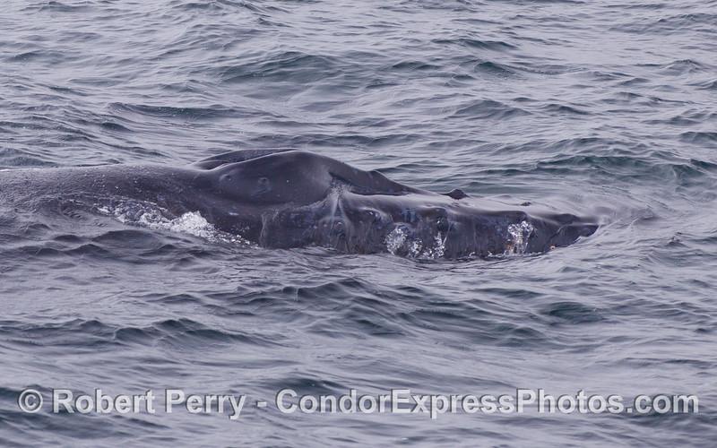 Profile of the upper head, rostrum and splashguard - Humpback Whale (Megaptera novaeangliae).