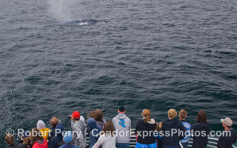 Whalers on the Condor Express get a good view of a friendly Blue Whale (Balaenoptera musculus).
