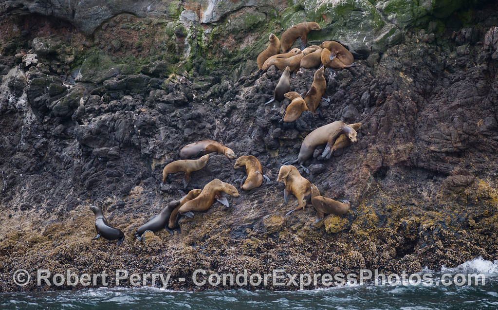 A group of young California Sea Lions (Zalophus californianus) hauled out on the volcanic cliffs of Santa Cruz Island.