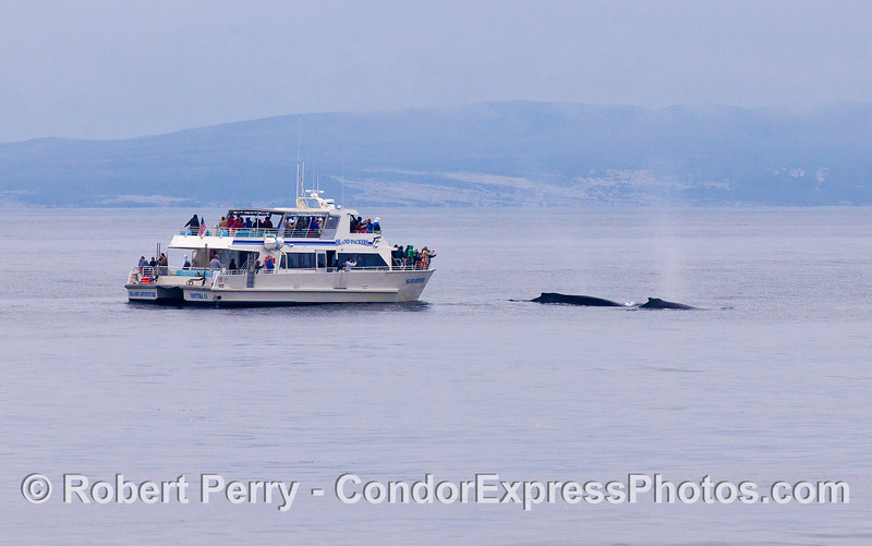 A whale watching boat gets a friendly visit from two  Humpback Whales (Megaptera novaeangliae).  Santa Rosa Island is seen in the back.