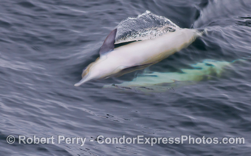 Image 2 of 4:  mating sequence - Long-beaked Common Dolphins (Delphinus capensis).  The chase is on!  The coy female appears to be teasing or avoiding the male (still below).