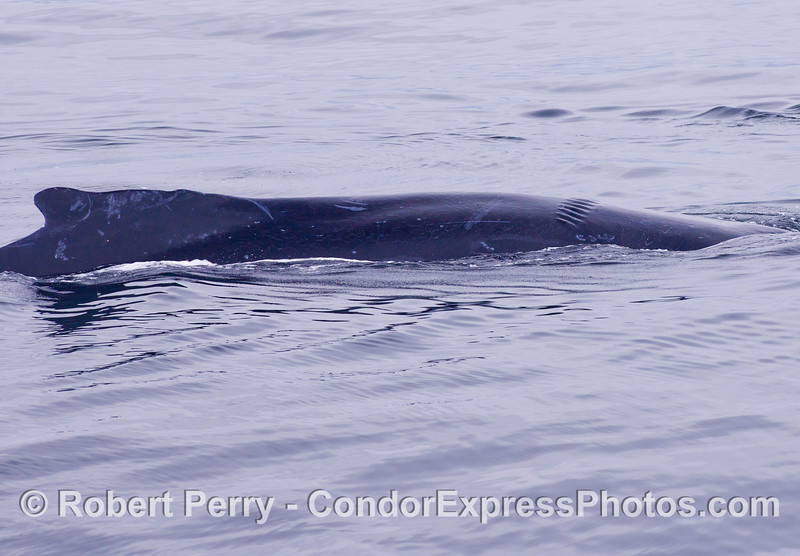 A nice view of Stitch, the Humpback Whale (Megaptera novaeangliae) with stitch-like propeller scars.