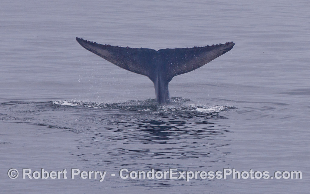 The tail of a Blue Whale (Balaenoptera musculus).