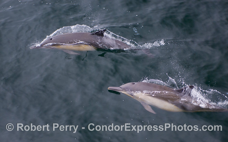 Two Long-beaked Common Dolphins (Delphinus capensis).