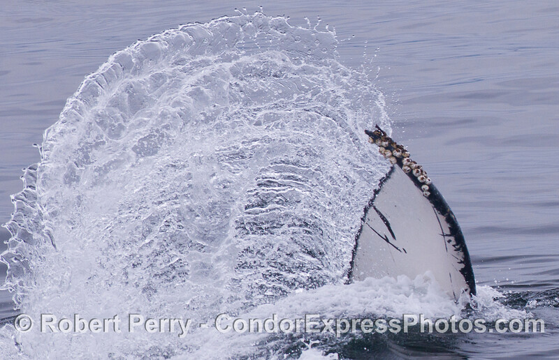 A Humpback Whale (Megaptera novaeangliae) tail sends up some spray.