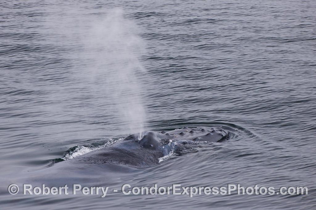 Head and spout of a friendly Humpback Whale (Megaptera novaeangliae).