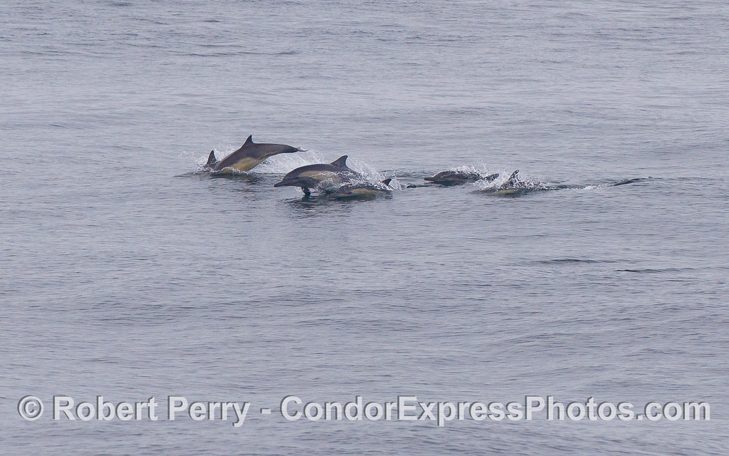 Long-beaked Common Dolphins (Delphinus capensis).