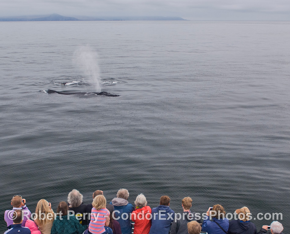 Guests aboard the Condor Express get a very close look at some friendly Humpback Whales (Megaptera novaeangliae).  Frasier Point and the western end of Santa Cruz Island, is in the background.