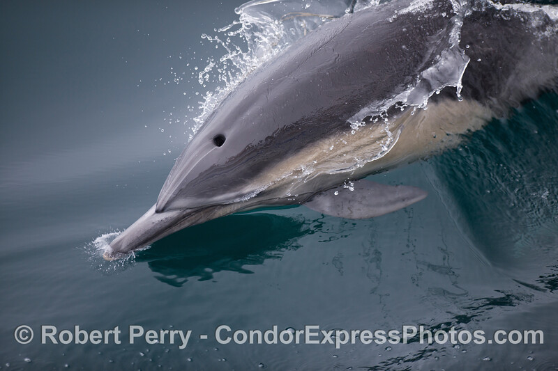 Very close look at the snout and blow hole of a Long-beaked Common Dolphin (Delphinus capensis).