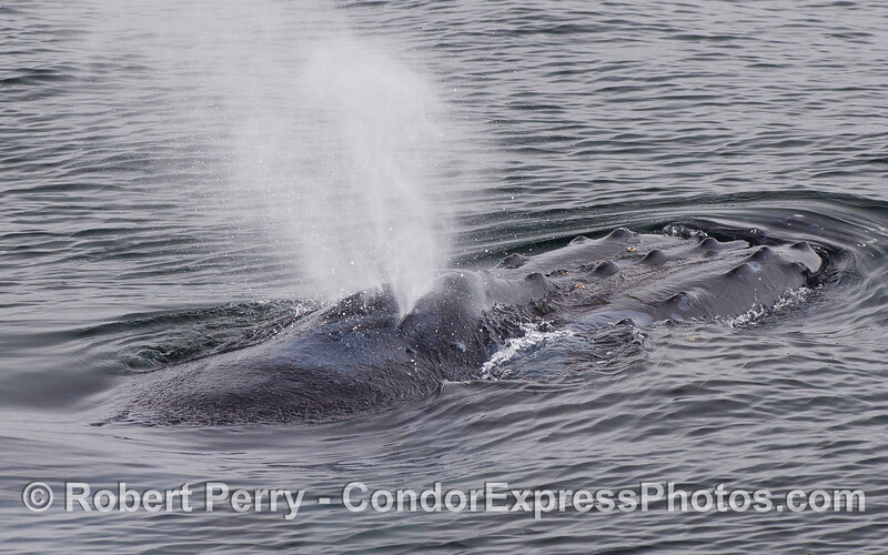 Image 2 of 3 - A friendly Humpback Whale (Megaptera novaeangliae) rises up and spouts.