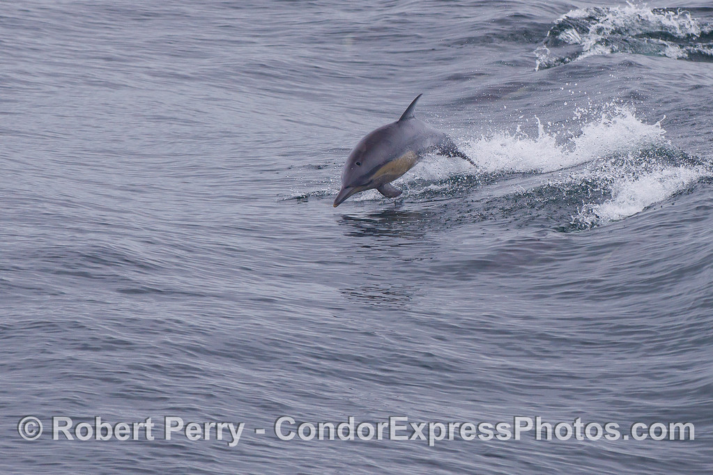 A leaping Long-beaked Common Dolphin (Delphinus capensis).