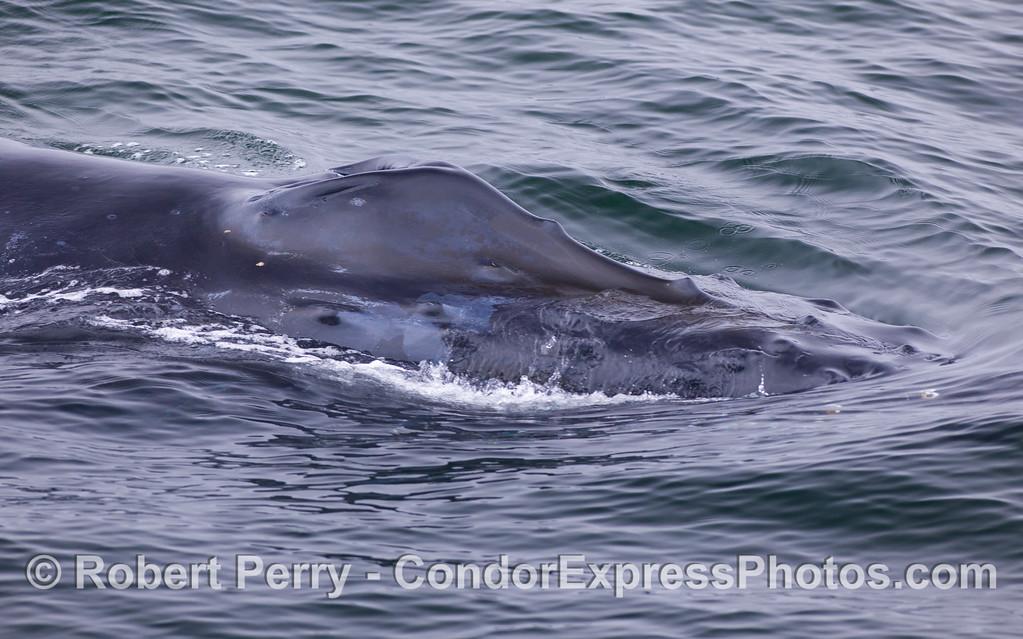 Very close look at the head and splashguard of a Humpback Whale (Megaptera novaeangliae).