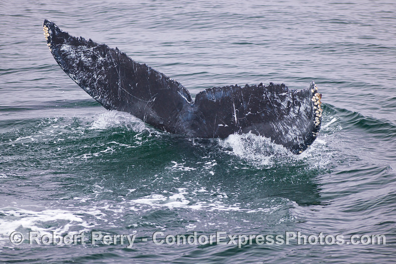 Going down!  A Humpback Whale (Megaptera novaeangliae) heads for a deep dive.