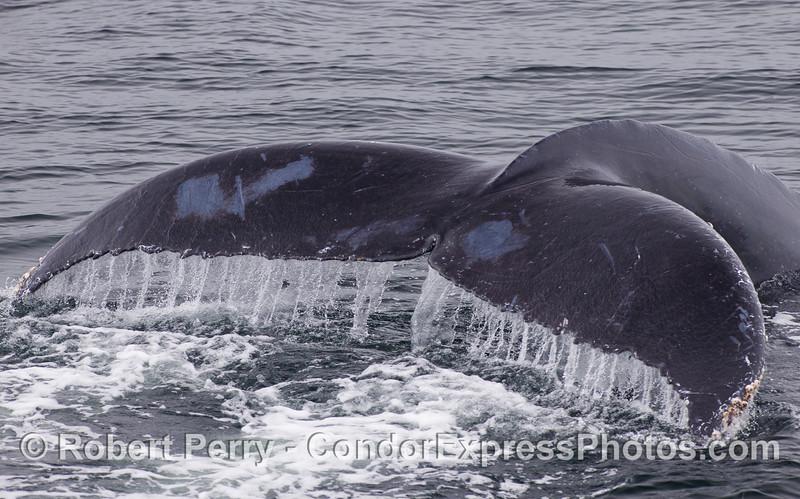 Humpback Whale (Megaptera novaeangliae) tail - close.