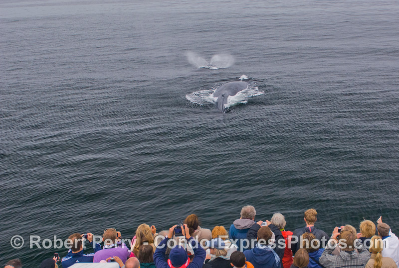 Guests aboard the Condor Express get a very close look at some friendly Humpback Whales (Megaptera novaeangliae).