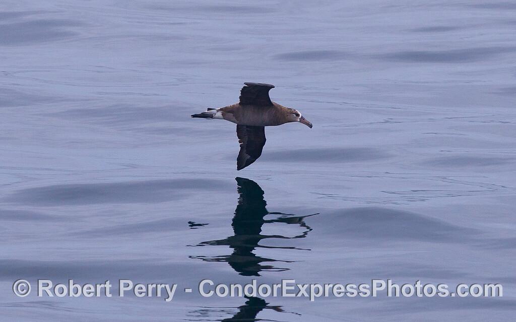 Black-footed Albatross (<em>Phoebastria nigripes</em>).