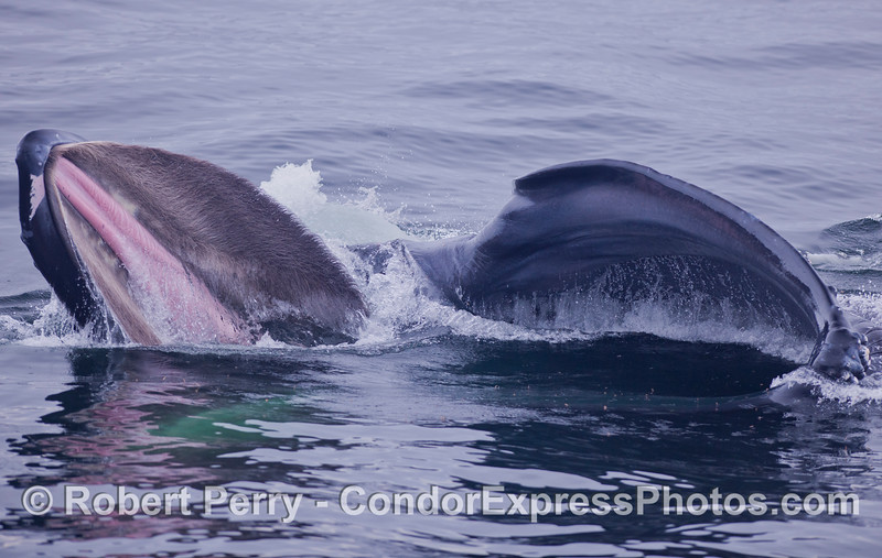 Image 1 of 4:  A very close encounter with a surface lunge feeding Humpback Whale (<em>Megaptera novaeangliae</em>).  The whale is on its right side, mouth is open, and the pink soft palate of the roof of the mouth can be seed fringed with bushy baleen.  The little ripples on the surface in between the jaws are krill  (<em>Thysanoessa spinifera</em>) preparing to move up the food chain.
