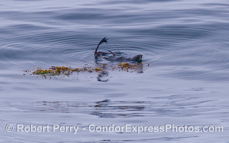 Callorhinus ursinus NORTHERN FUR SEAL rafting 2011 07-23 SC Bight a  - 014