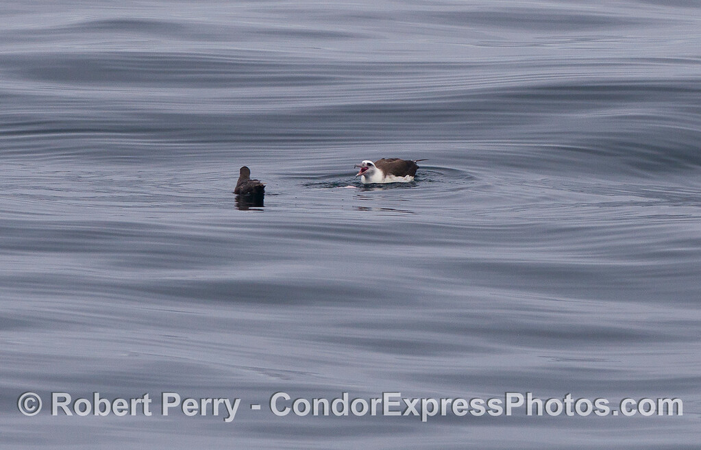 A Laysan's Albatross  (<em>Phoebastria immutabilis</em>) defends its dead fish from a Sooty Shearwater  (<em>Puffinus griseus</em>).
