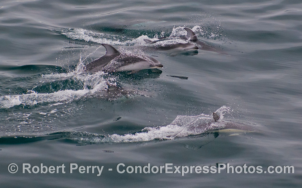 A mixed pod with four Pacific White-sided Dolphins (<em>Lagenorhynchus obliquidens</em>) and [on the bottom] one Short-beaked Common Dolphin (<em>Delphinus delphis</em>).