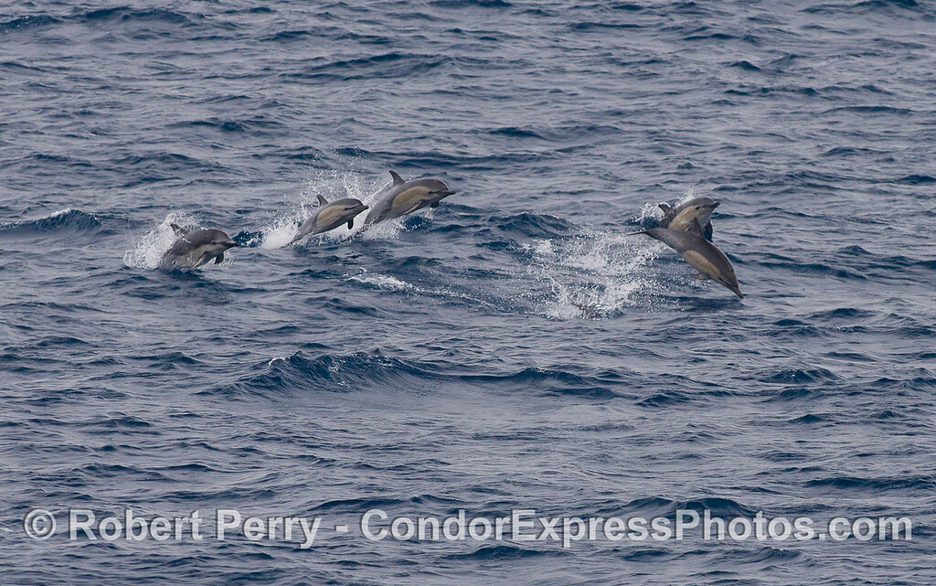 Short-beaked Common Dolpins (<em>Delphinus delphis</em>).