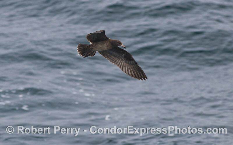 Image 1 of 3:  A Heermann's Gull (<em>Larus heermanni</em>).