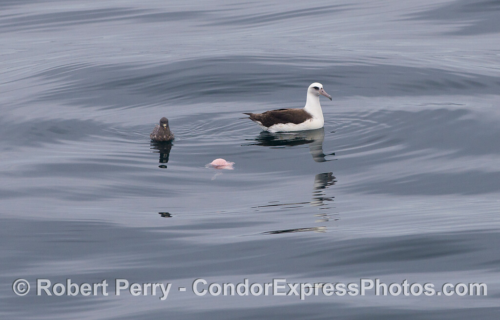 A Laysan's Albatross  (<em>Phoebastria immutabilis</em>) and a Sooty Shearwater  (<em>Puffinus griseus</em>).