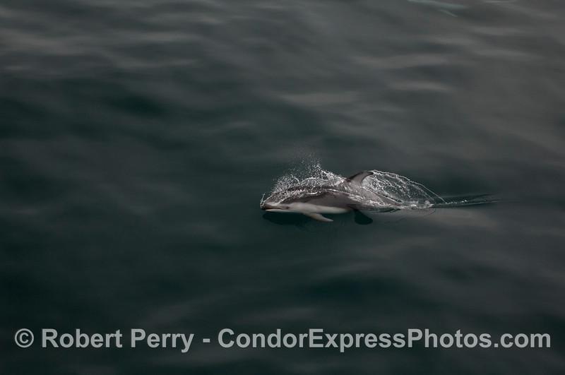 Pacific White-sided Dolphin (<em>Lagenorhynchus obliquidens</em>).