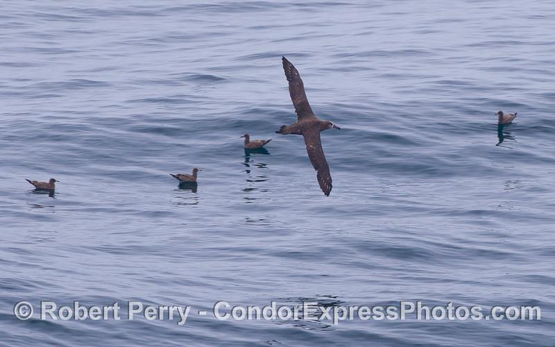 A Black-footed Albatross (<em>Phoebastria nigripes</em>) soars above four Sooty Shearwaters (<em>Puffinus griseus</em>).