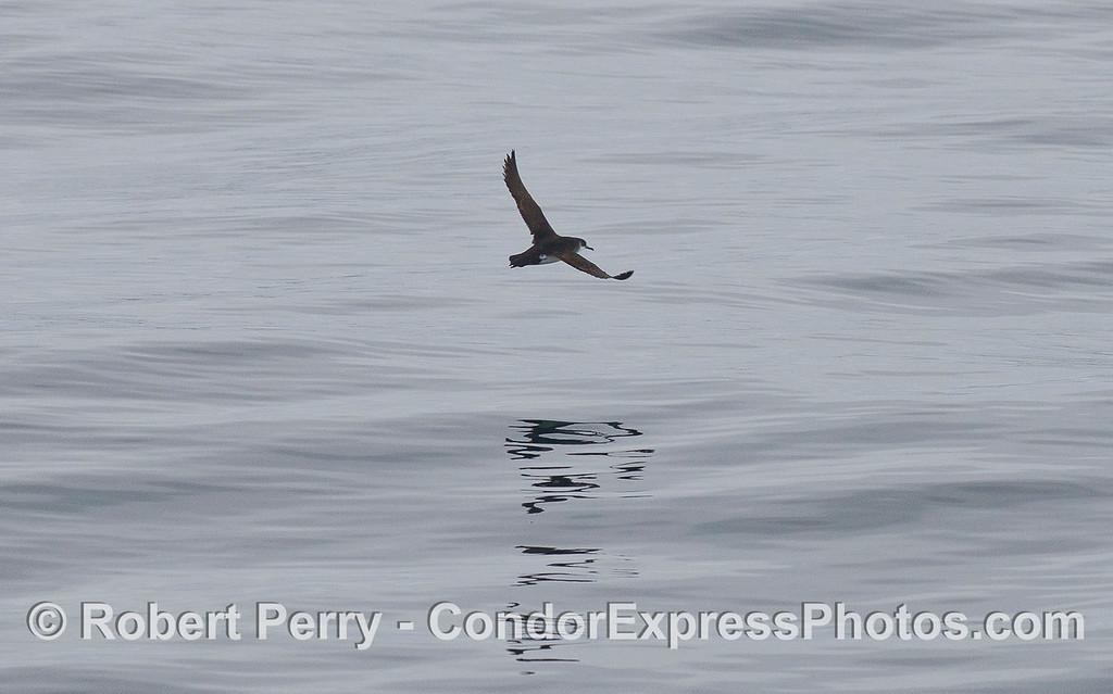 A Manx Shearwater (<em>Puffinus puffinus</em>) in flight.