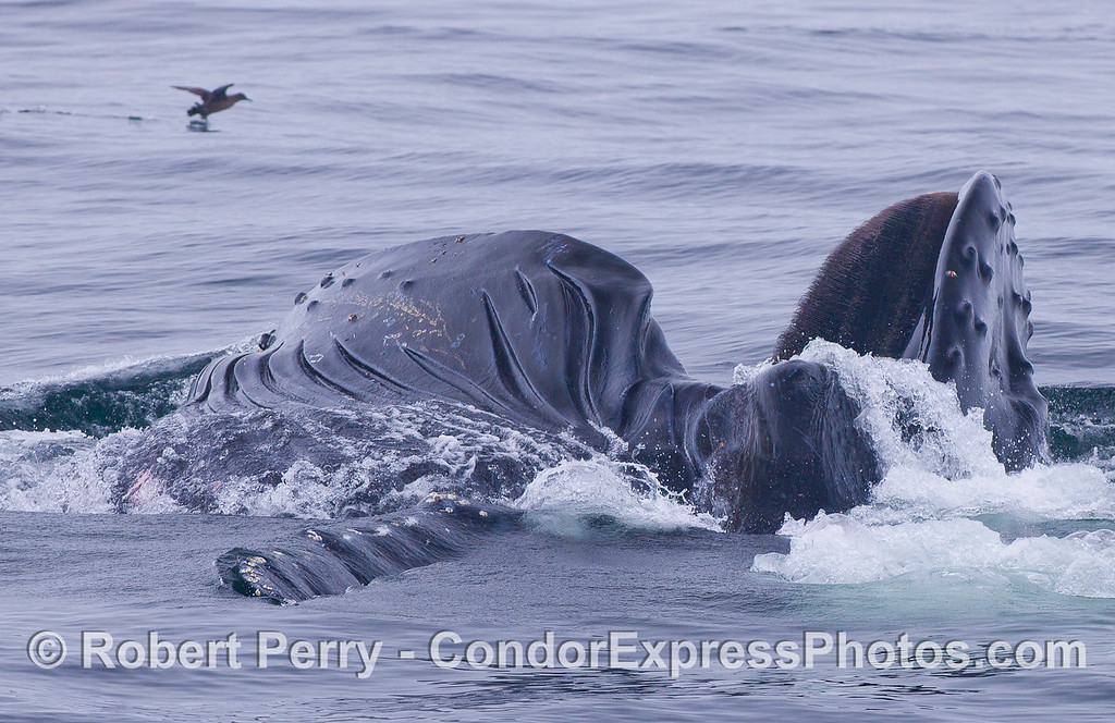 Surface feeding Humpback Whale (Megaptera novaeangliae) and a Sooty Shearwater (Puffinus griseus),
